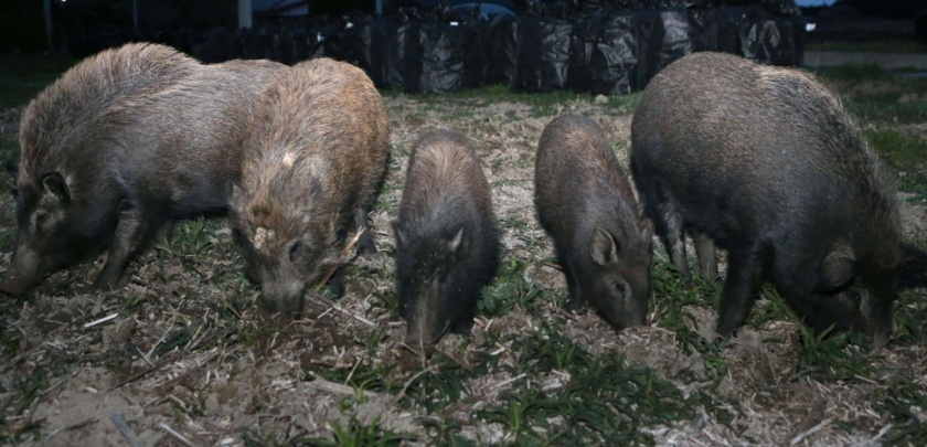 Wild pigs wander around Fukushima No. 1 nuclear plant
